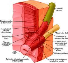 Epeutak és kötőszövetek metszeti ábrázolása